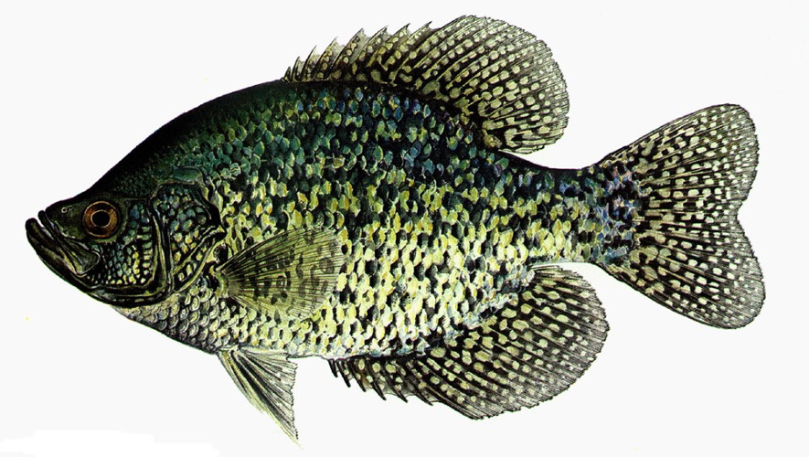 How to Fish Crappie? - Indiana Info
